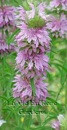 Make Lemon Mint Tea MONARDA LAMBADA Annual SEEDS