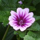 MALVA ZEBRINA Absolutely Stunning SEEDS Annual Re-seeds