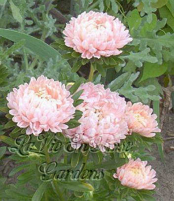 OUTSTANDING Annual Aster ORANGE SHERBERT Seeds