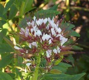 Outstanding Performer ANNUAL Cleome SOLO Seeds