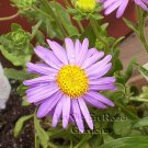 1455 - PERENNIAL Aster Stunning GOLIATH Seeds