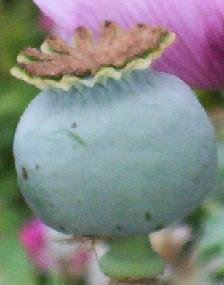 POPPY Cameo Queen Pure White Papaver ANNUAL Seeds