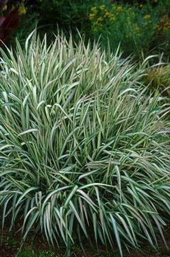 REED CANARY Tall Ornamental Grass ANNUAL Seeds