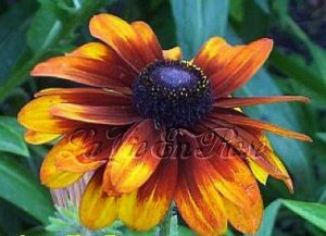 Rudbeckia Seeds CAPPUCCINO Very Limited and Rare Annual