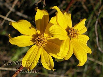 Spectacular Cascading BIDENS Golden Eye ANNUAL seeds