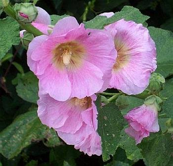 STUNNING Heirloom HOLLYHOCK 'Blushing Bride' Seeds Biennial