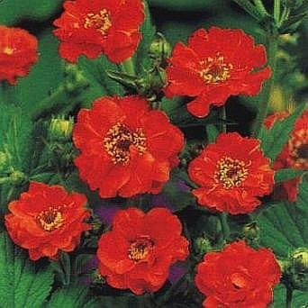 0009 - STUNNING RED Mrs. Bradshaw PERENNIAL Seeds