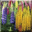 0077 - STUNNING SPIKES of LUPINS - BLUE Only Perennial Seeds