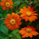TITHONIA Goldfinger Seeds HUGE 3inch  MEXICAN SUNFLOWER Annual