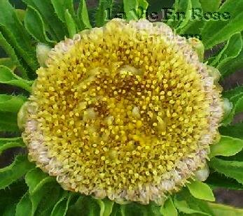 SPECIAL - UNUSUAL AND RARE Aster HULK/Green Leaves SEEDS Annual