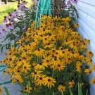 0020 - WONDERFUL EYE-CATCHER Rudbeckia Goldstrum Seeds PERENNIAL