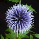 0219 - SPLENDID EVERLASTING Echinops ritro PERENNIAL seeds