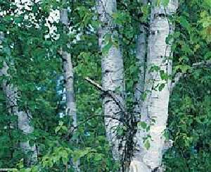 LEGENDARY White Birch Tree SEEDS Betula Papyrifera