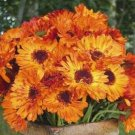 SPLENDID Calendula Marigold 'Victoria Sunset' ANNUAL Seeds