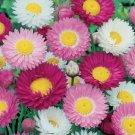 HEIRLOOM Sensation Giants Strawflower ANNUAL