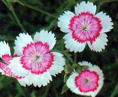 Arctic Fire Dianthus deltoides PERENNIAL Seeds