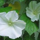 BEAUTIFUL NIGHT FRAGRANT Vine - Moonflower ALBA Seeds