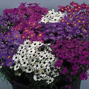 Bravo Mixed Brachycome iberidifolia DELIGHTFUL Annual