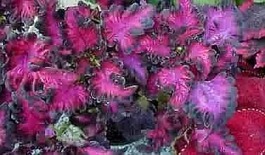 CURIOUS Black Dragon COLEUS Annual SEEDS