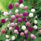 Globosa Tall Mix Gomphrena EVERLASTING annual SEEDS