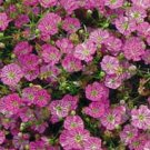 Gypsy Deep Rose Gypsophila ANNUAL Breathtaking
