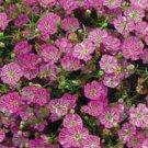 Gypsy Deep Rose Gypsophila ANNUAL Breathtaking