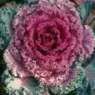 Mixed Colors ORNAMENTAL Cabbage Brassica ANNUAL seeds
