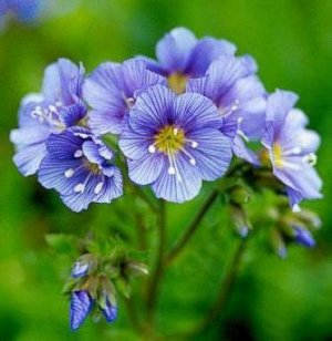 Eye-Catching Jacob's Ladder PERENNIAL seeds