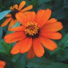 Profusion Series DWARF ZINNIA Fire Seeds ANNUAL