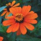 Profusion Series DWARF ZINNIA Fire Seeds ANNUAL