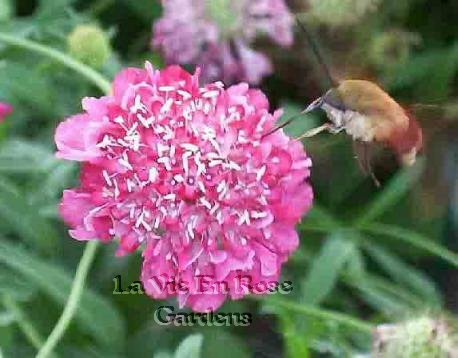 STRIKING 'Salmon Pink' SCABIOSA Annual SEEDS