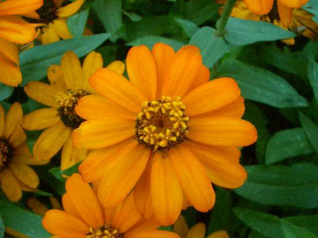 APRICOT Seeds ANNUAL DWARF ZINNIA Profusion Series
