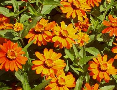 DWARF ZINNIA Profusion Series ORANGE Seeds ANNUAL