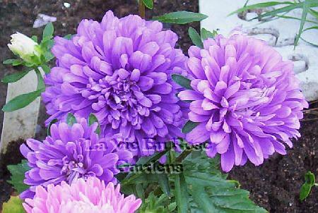 COMPACT Aster Dwarf Queen MIXED Annual SEEDS