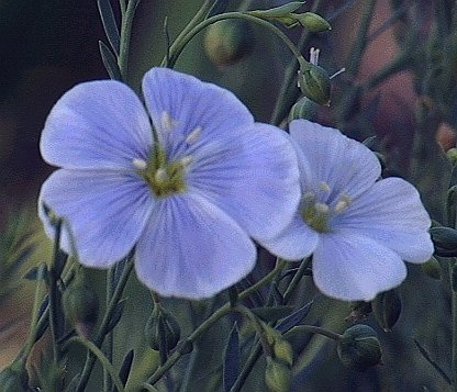 SELF SOWING Linum lewisii BLUE FLAX PERENNIAL seeds