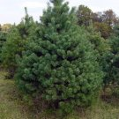 FAST GROWING White Pine TREE Seeds