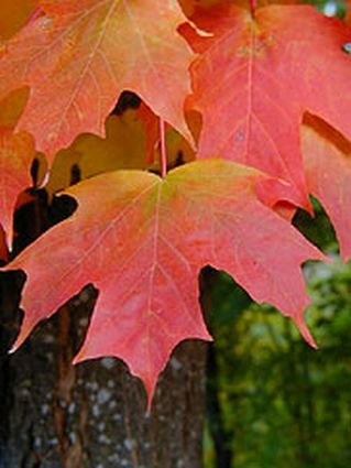 MOST COLORFUL TREE Sugar Maple SEEDS