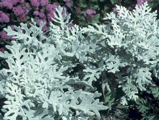 WONDERFUL CONTRAST IN GARDEN Dusty Miller Seeds ANNUAL