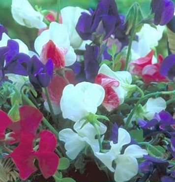 OLD-FASHIONED Sweet Pea SPENCER Very Fragrant VINE