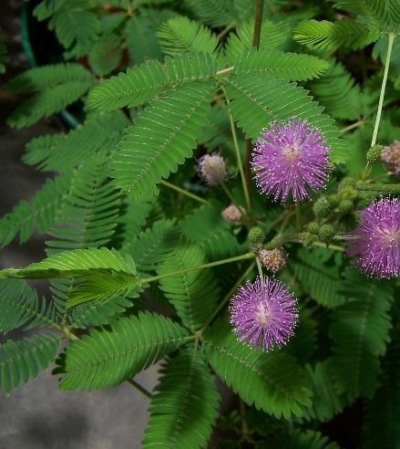 WATCH IT MOVE! Mimosa Sensitive Plant SEEDS Annual