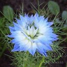 FABULOUS Love In A Mist BLUE SKIES Annual Seeds