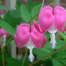 DAZZLING PERENNIAL Bleeding Heart DICENTRA Mixed SEEDS