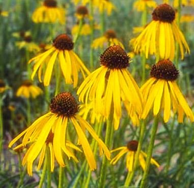 DROOPING PETALS Yellow Echinacea PERENNIAL Seeds