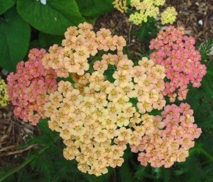 POPULAR PERENNIAL Achillea Yarrow MIXED Pastels