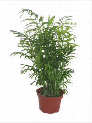 Indoor Palm Plants http://www.ecrater.com/p/632371/spectacular-indoor-palm-tree-seed