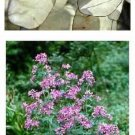 BIENNIALGrow a Money Plant in your Garden!SEEDS Lunaria