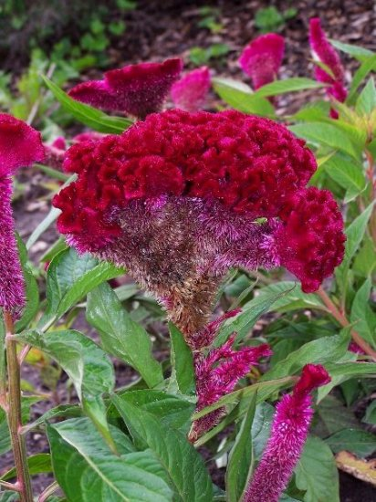 AMAZING FOR CUT FLOWERS Celosia Big Chief Mix ANNUAL