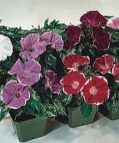 DWARF PICOTEE MIXED Morning Glory ANNUAL Seeds