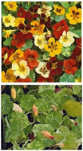 TRAILING VARIETY Nasturtium 'OUT OF AFRICA' Seed ANNUAL