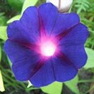 HEIRLOOM Annual Vine Morning Glory 'GRANDPA OTT'